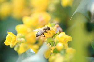 ミツバチの写真素材 [FYI03177157]