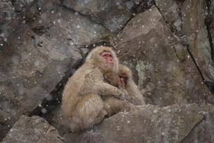 抱き合うニホンザルの写真素材 [FYI03177189]