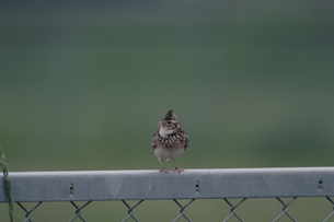 フェンスに止まるヒバリ 麻生町 茨城県の写真素材 [FYI03177378]