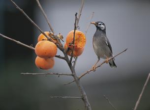 柿の実をついばむムクドリの写真素材 [FYI03177390]