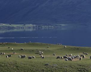 放牧風景 クインズタウン ニュージーランドの写真素材 [FYI03177509]