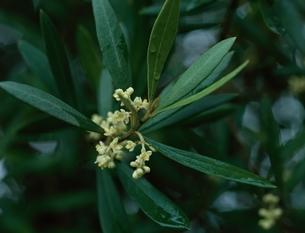 オリーブの花の写真素材 [FYI03177824]
