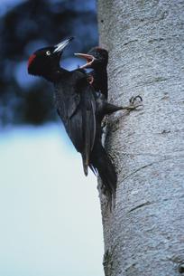 木に止まる2羽のクマゲラの親子 鵡川町 北海道の写真素材 [FYI03177863]