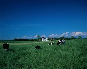 牧場の牛とサイロ 苫小牧 北海道の写真素材 [FYI03177870]