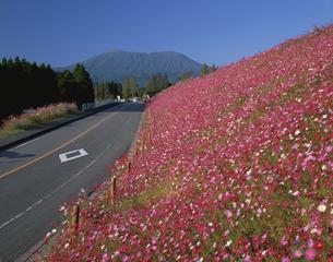韓国岳を望むコスモスの咲き乱れる道 生駒高原 宮崎県の写真素材 [FYI03178148]