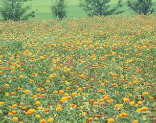 高瀬地区に咲く紅花の花畑 山形市 山形県の写真素材 [FYI03179911]