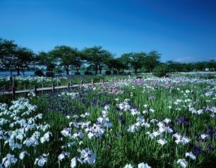 瓢湖の花菖蒲園    新潟県の写真素材 [FYI03180090]