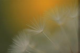 タンポポの冠毛の写真素材 [FYI03181112]