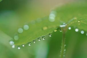 葉の水滴の写真素材 [FYI03181150]