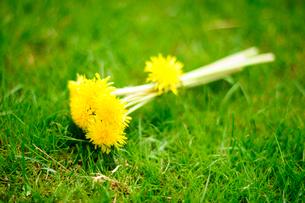 タンポポの花束の写真素材 [FYI03182066]
