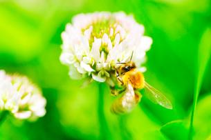 蜜蜂とクローバーの写真素材 [FYI03182081]