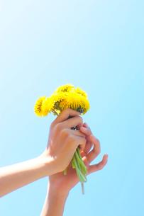 積んだたんぽぽの花を空にかかげる女の子の手の写真素材 [FYI03182312]