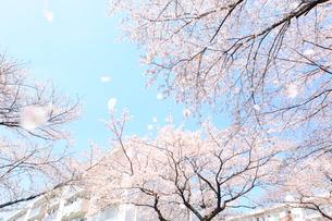 団地と満開の桜と風に舞う花びらの写真素材 [FYI03182314]