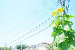住宅街と向日葵の写真素材 [FYI03182346]