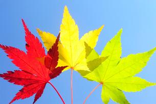 青空と赤と黄色と緑のもみじの葉の写真素材 [FYI03182404]