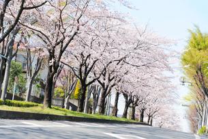 満開の桜並木と住宅街の道路の写真素材 [FYI03182468]