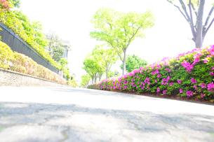 満開のツツジと新緑の街路樹のある歩道の写真素材 [FYI03182488]