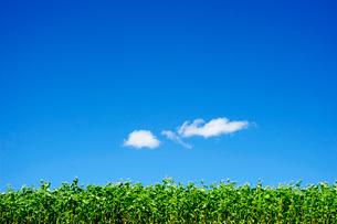 花の 咲いた蕎麦畑の写真素材 [FYI03182570]