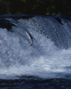 川を登るキングサーモンの写真素材 [FYI03182837]