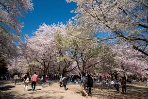 弘前城公園満開の桜の写真素材 [FYI03182907]