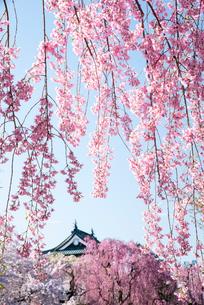 弘前城枝垂れ桜と天守閣の写真素材 [FYI03182953]