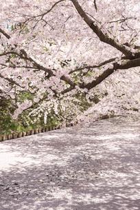 弘前城外濠の桜と花いかだの写真素材 [FYI03182976]