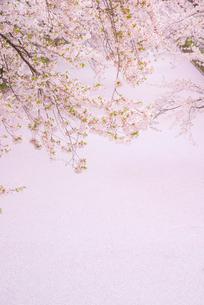 弘前城外濠の桜と花いかだの写真素材 [FYI03182982]