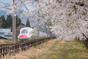 桜並木と秋田新幹線スーパーこまちの写真素材 [FYI03183000]