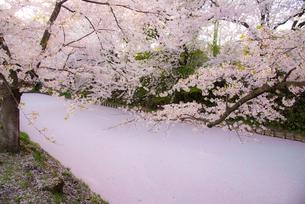 弘前城外濠の桜と花いかだの写真素材 [FYI03183001]