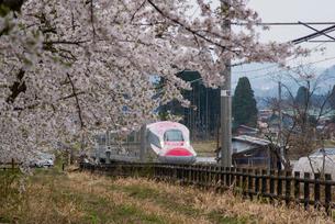 桜並木と秋田新幹線スーパーこまちの写真素材 [FYI03183014]