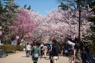 弘前城公園の桜の写真素材 [FYI03183021]