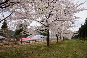 桜並木と秋田新幹線スーパーこまちの写真素材 [FYI03183032]