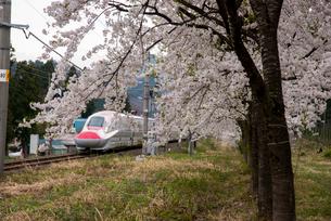 桜並木と秋田新幹線スーパーこまちの写真素材 [FYI03183070]
