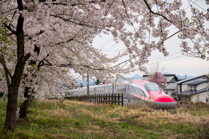 桜並木と秋田新幹線スーパーこまちの写真素材 [FYI03183085]