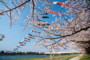 北上展勝地桜と鯉のぼりの写真素材 [FYI03183245]