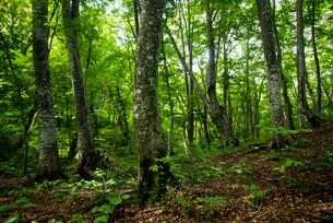 世界遺産白神山地白神の森エリアの写真素材 [FYI03183377]