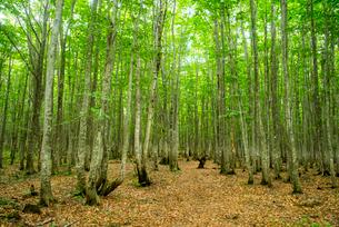 安比高原夏のブナ林の写真素材 [FYI03183389]