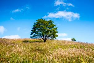 霧ヶ峰高原,ススキ咲く草原と一本の木の写真素材 [FYI03183811]