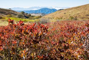 霧ヶ峰車山湿原紅葉のレンゲツツジと北アルプス連峰の写真素材 [FYI03183861]