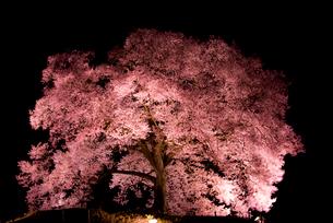 わに塚の桜ライトアップの写真素材 [FYI03184482]