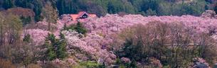 桜満開の高遠城址公園の写真素材 [FYI03184530]