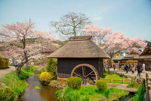 桜咲く忍野八海と水車小屋の写真素材 [FYI03184531]