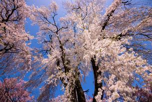 高遠町 勝間薬師堂の枝垂桜の写真素材 [FYI03184549]