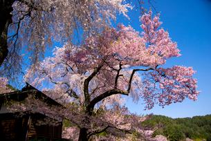 高遠町 勝間薬師堂の枝垂桜の写真素材 [FYI03184554]