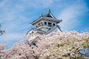 満開の桜と長浜城の写真素材 [FYI03184602]