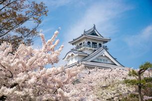 満開の桜と長浜城の写真素材 [FYI03184607]