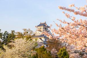 長浜城と満開の桜の写真素材 [FYI03184624]