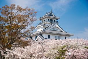 満開の桜と長浜城の写真素材 [FYI03184628]