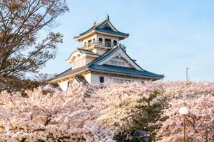 長浜城と満開の桜の写真素材 [FYI03184629]