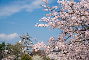 満開の桜と長浜城の写真素材 [FYI03184633]